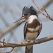 Belted Kingfisher by claybuster1(doing good just very busy)