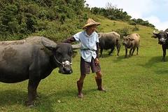 擎天崗景觀元素:水牛、草原與農業,水牛與常民生活記憶深深連結,非神戶牛可比擬。(圖片來源:林務局)