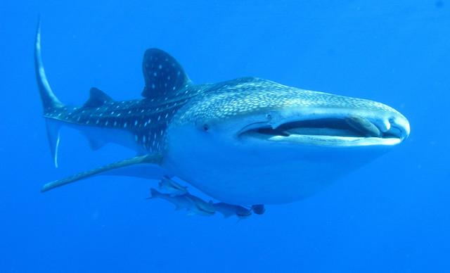 Whaleshark, Daedalus Reef, Red Sea, Egypt - take 2