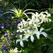 Hydrangea Great Star with Kniphofia and Geraniums