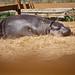 Hipopótamos - Investigación Zoológicos 2011