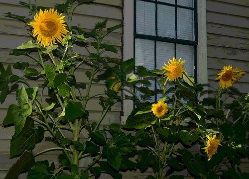 Sunflowers in the Sun - East Greenwich, Rhode Island