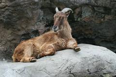animal, mammal, barbary sheep, fauna, mountain goat, wildlife,