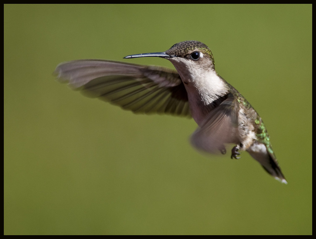 Juvenile male ruby-throated hummingbird in flight 14