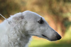 animal sports(0.0), hound(0.0), whippet(0.0), sports(0.0), greyhound(0.0), afghan hound(0.0), dog sports(1.0), dog breed(1.0), animal(1.0), silken windhound(1.0), dog(1.0), galgo espaã±ol(1.0), sighthound(1.0), saluki(1.0), sloughi(1.0), pet(1.0), longhaired whippet(1.0), lurcher(1.0), carnivoran(1.0), borzoi(1.0),