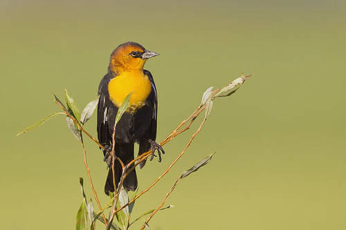 Warm Light Yellow-headed Blackbird