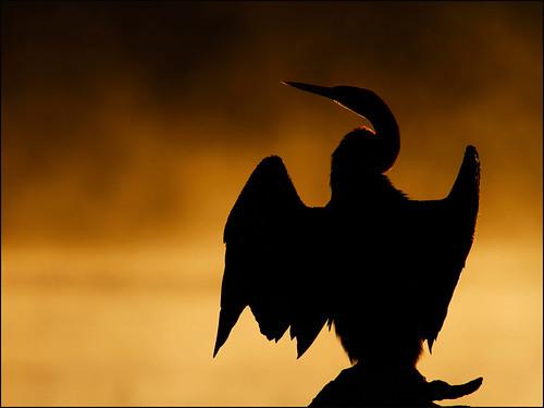 bird water silhouette sunrise southafrica golden warm waterfowl favourite warming darter kruger lakepanic avianexcellence steveproctor birdperfect stproc