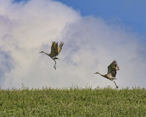 Sandhill Cranes taking flight at Retzer Nature Center