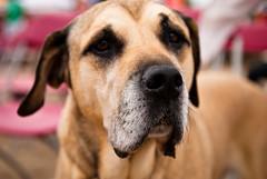 puppy(0.0), tosa(0.0), street dog(0.0), animal shelter(0.0), boerboel(0.0), dog breed(1.0), animal(1.0), broholmer(1.0), dog(1.0), pet(1.0), mammal(1.0), black mouth cur(1.0),