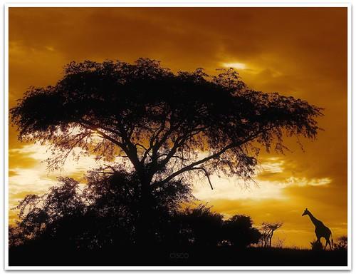 sunset canon landscape cisco soul uganda giraffa masindi presenze soulsound eos5dmarkii bestcapturesaoi 11092011 undicisettembreduemilaundici soundofsilencesimonandgarfunkel novembre2011challengewinnercontest