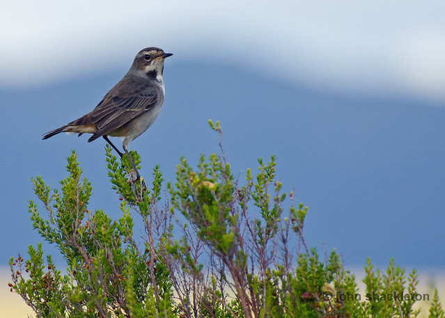 Female Bluethroat / Pechiazul hembra (Luscinia svecica)