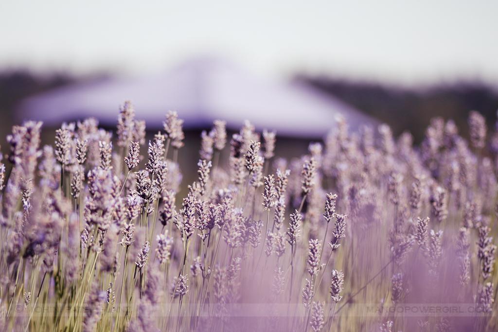 lavender hill farm 18