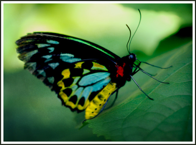 6039591511 294c6acea6 z jpgTropical Rainforest Butterflies