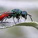 Ruby-tailed wasp by nutmeg66