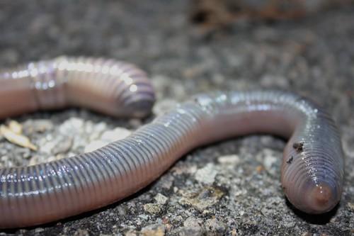 Very Large Earthworm (Amynthas aspergillum 參狀遠環蚓 or Amynthas robustus 壯偉遠環蚓?)