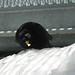 Small photo of Alpine Chough