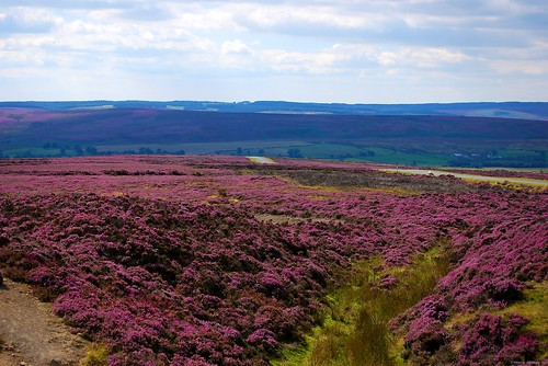 Purple Moor above Goathland