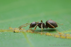 Ants with aphids scene