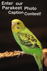 Parakeet Caption contest