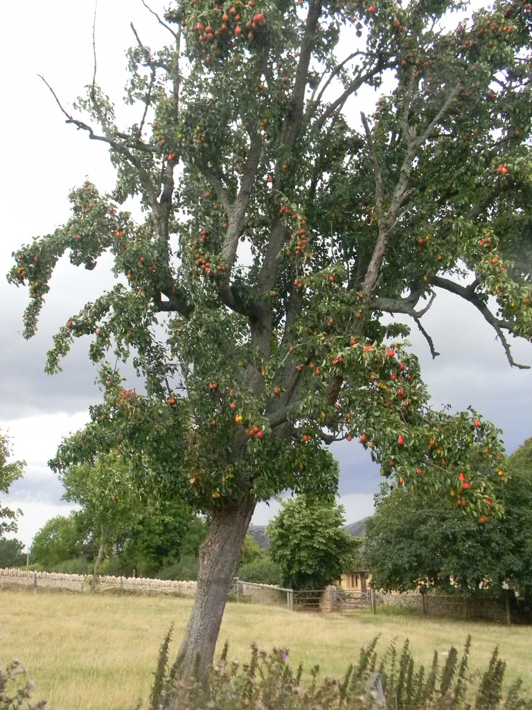 Pear tree With pears on. Opposite Baker's Arms. Moreton-in-Marsh Circular