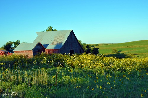 A Barn and Black Eyed Susans in Northeastern Kansas-Explored 9/6