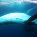 Tonga 2011 - Humpback whales!