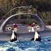 1974-11-Skana & Hyak II,  Vancouver Aquarium, BC by Pat Hathaway