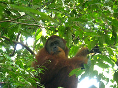 three toed sloth(0.0), animal(1.0), branch(1.0), monkey(1.0), orangutan(1.0), mammal(1.0), great ape(1.0), fauna(1.0), new world monkey(1.0), jungle(1.0), ape(1.0), wildlife(1.0),