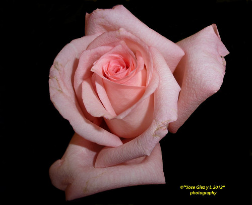 ☼ ☼ ☼Rosa rosa en Negro ☼ ☼ ☼ Pink rose in black,