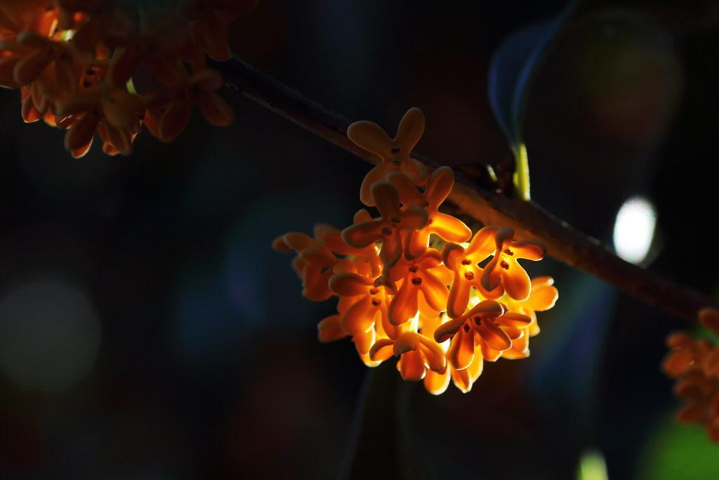 Fragrant orange-colored olive (Matsudo, Chiba, Japan)
