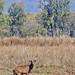 Swamp Deer (Raghu Kulkarni)
