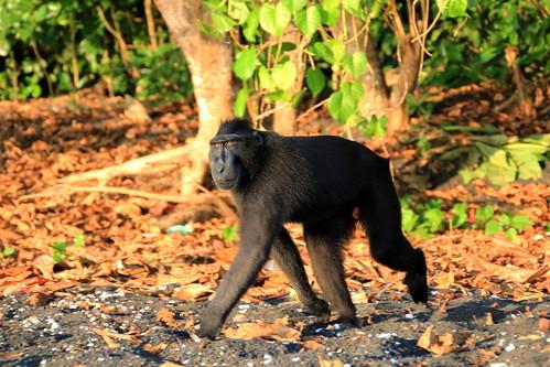 sulawesi-makaken, tangkoko nationalpark, nordsulawesi
