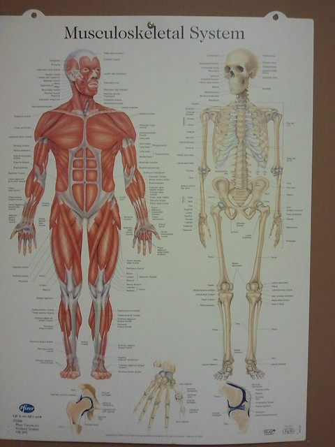 Musculoskeletal system   Flickr - Photo Sharing!