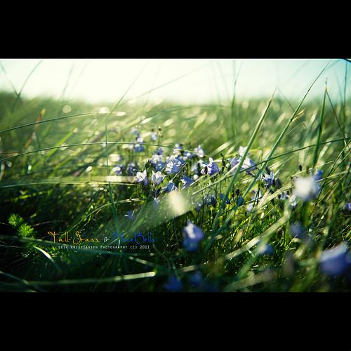 grass denmark nikon hirtshals tall bluebell f28 2470mm d700 nikond700 2470mmf28g nikon2470mmf28 geirkristiansen