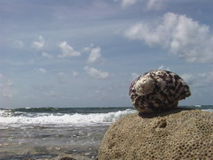 West Indian Top (shell) on coral rock next to waves