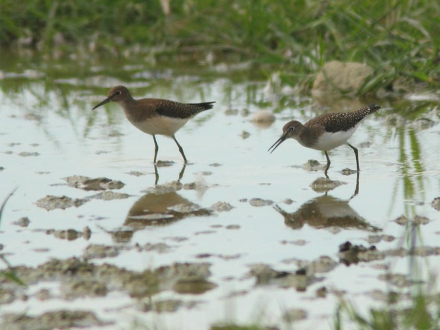 Solitary Sandpipers 20110821
