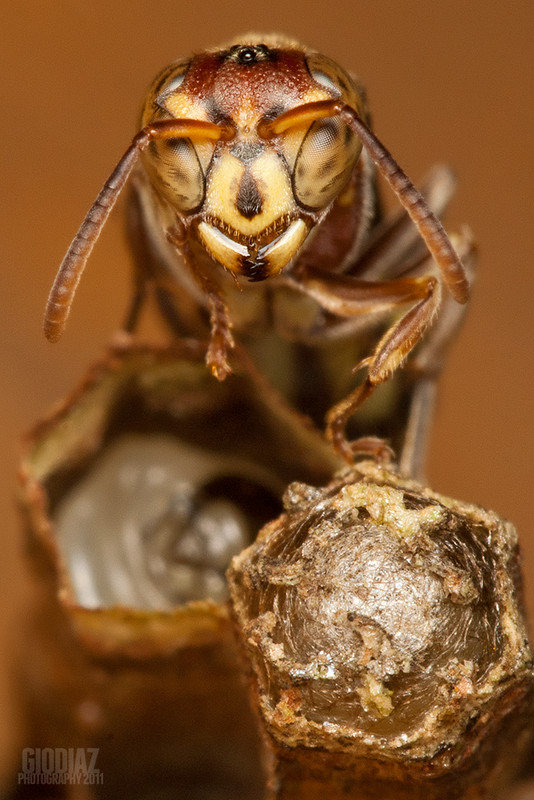 Wasp Guarding Its Nest