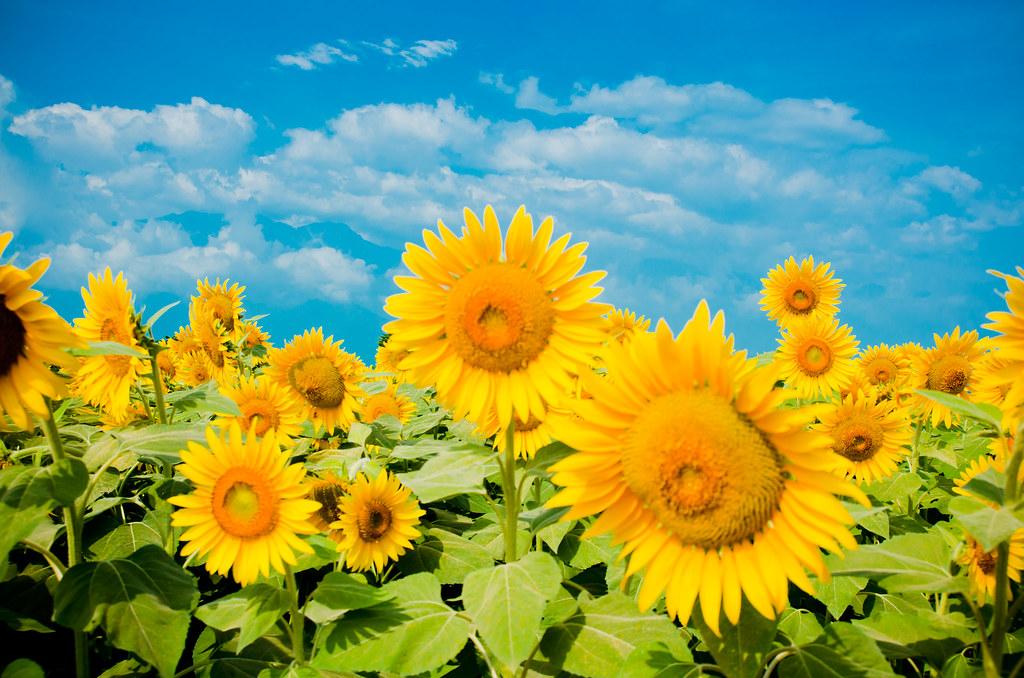 Sunflower - Akeno, Yamanashi