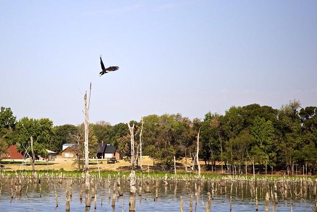 Bald Eagle at Lake Fork, TX