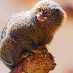 Pygmy marmoset on the branch