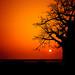 [EN] - Silhouette of baobab tree at sunset. Mussulo bay, Angola | [PT] - Silhuetas de imbondeiro ao por-do-sol. Mussulo, Angola. License at www.angolaimagebank.com by AIB - Angola Image Bank por KODILU Fotografia