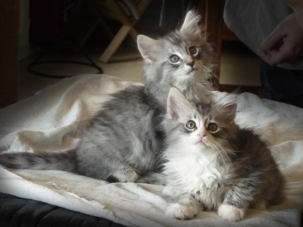 Skogkatt kitten