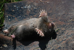 tasmanian devil(0.0), animal(1.0), rat(1.0), mammal(1.0), fauna(1.0), wildlife(1.0),