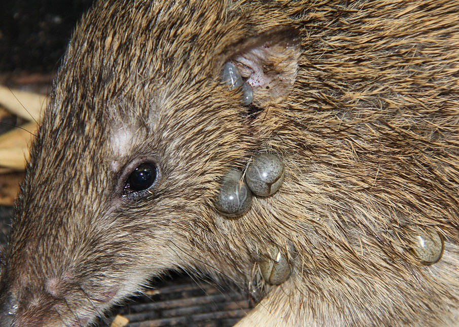 Bandicoot And Ticks 1 The Animal Is Dieing It Seems The