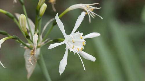 Canary sea daffodil