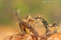 Net-spinning caddisfly larvae (Trichoptera, Hydropsychidae)