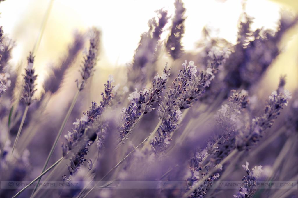 lavender hill farm 7