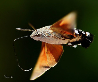 The Hummingbird Hawk-moth