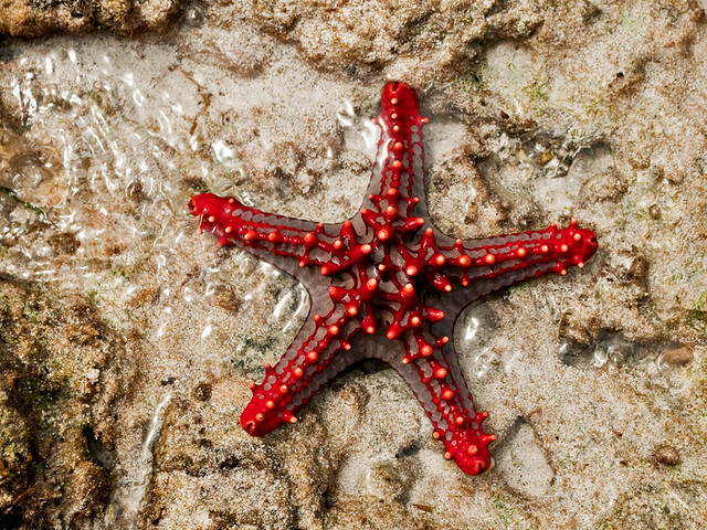 Star Of The Ocean Red Knobbed Starfish Indian Ocean