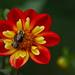 Dahlia 'Cobequid Pinwheel' by laszlofromhalifax